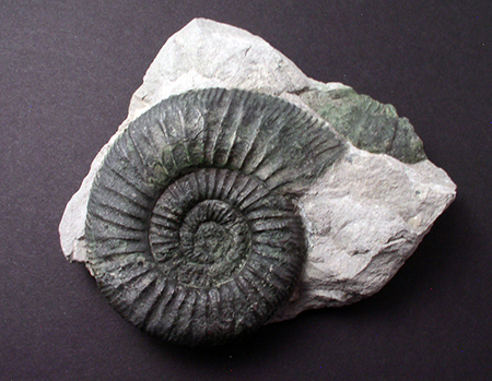 Fossils  - Orthosphinctes sp., Grafenberg, Bavaria, Germany