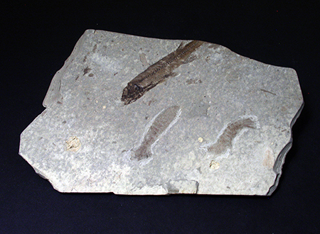 Fossils  - Lycoptera, Liaoning, China